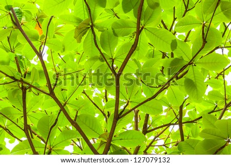 Deep green of Tropical almond tree for background use