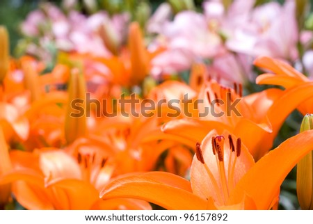 Deep orange and pink asiatic lily to bloom all over - stock photo