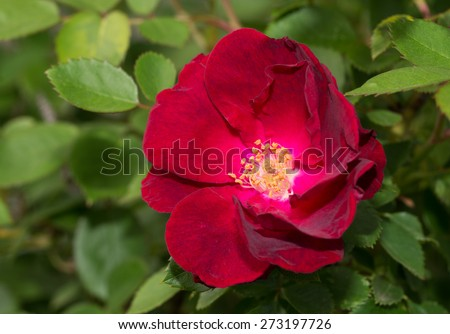 Deep red old style rose in the garden - stock photo