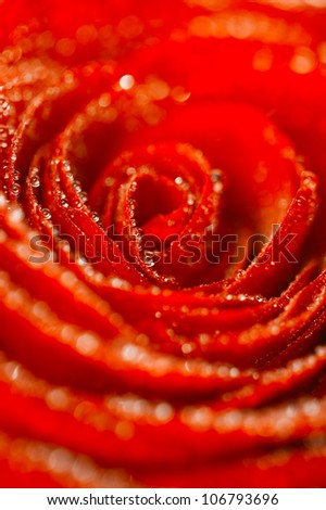 deep red rose flower background with water drops, shallow DOF - stock photo