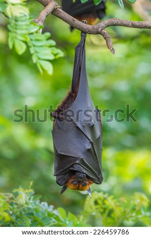 Deep sleep of  Lyle's flying fox (Pteropus lylei)  in nature of Thailand - stock photo