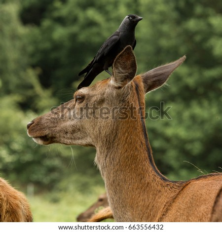 stock-photo-deer-and-the-western-jackdaw