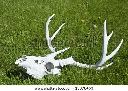 Deer Antlers - stock photo