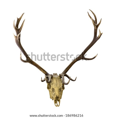 deer antlers isolated on white background - stock photo