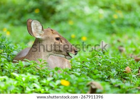 Deer are sleeping, eating grass - stock photo