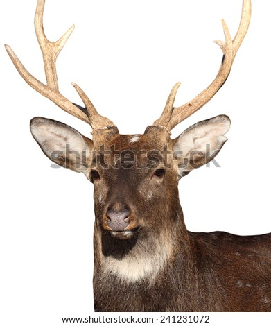 Deer at white isolated background.