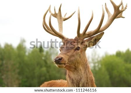 Deer close-up - stock photo