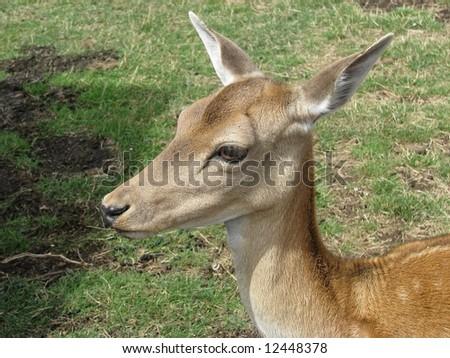 deer close up - stock photo