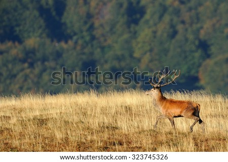 Deer during the mating season. - stock photo