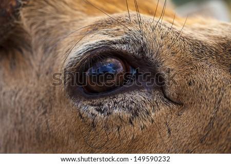 Deer eye. Macro image. - stock photo