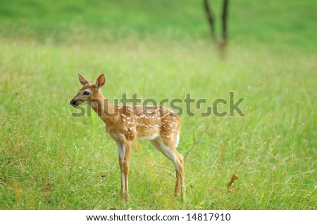 Deer Fawn at Valley Forge National Park