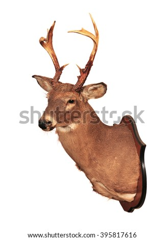 Deer head taxidermy mounted on wall isolated in white background. - stock photo