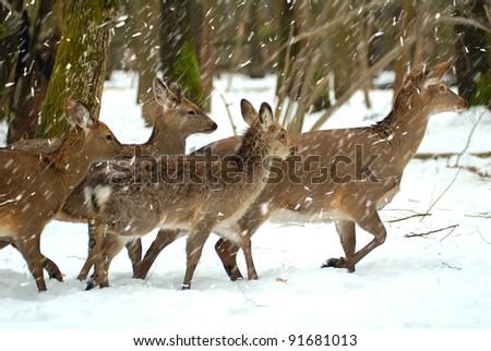 Deer herd by a winter - stock photo
