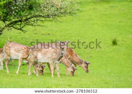 Deer herd grazing on field in the spring - stock photo