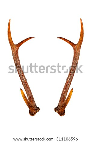 Deer horns isolated on the white background.Brown color from coating. - stock photo