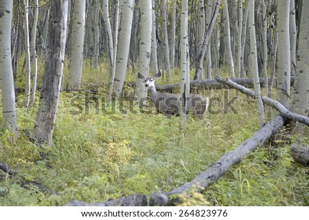Deer in field of Aspens near Telluride Colorado - stock photo