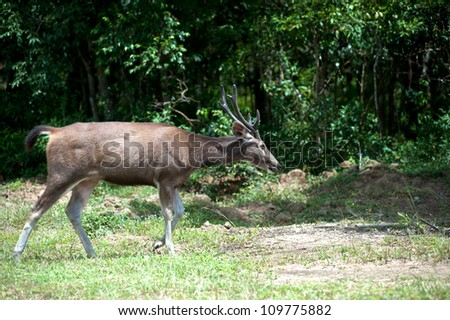 Deer in nature at forest, Thailand.