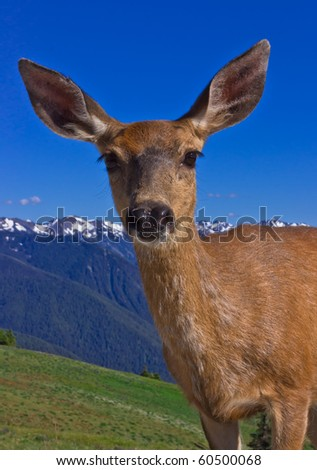 deer in olympic national park, washington - stock photo
