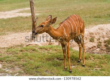deer in thailand - stock photo