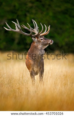 Deer in the forest. Red deer stag, bellow majestic powerful adult animal outside autumn forest, big animal in the nature forest habitat, England. Wildlife scene from nature.  - stock photo