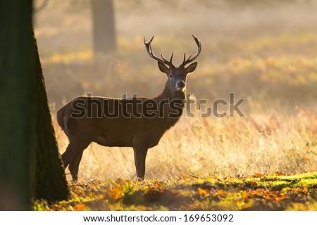 Deer in the Sunrise - stock photo