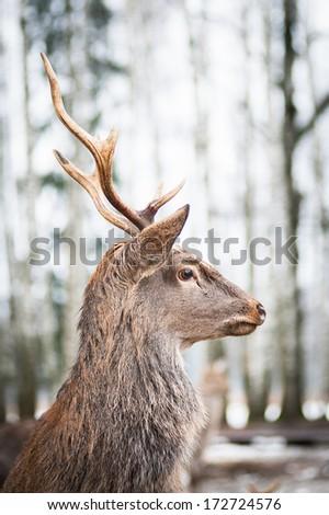 deer in the woods in winter - stock photo