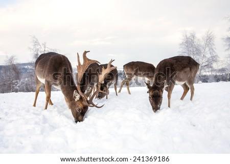 deer in winter - stock photo