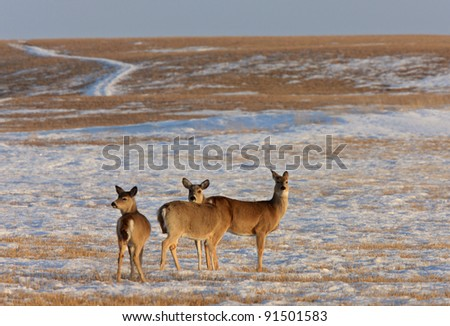 Deer in Winter Saskatchewan Canada - stock photo
