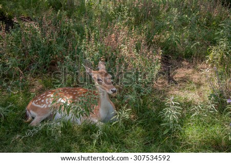 Deer laying in the grass on a safari - stock photo
