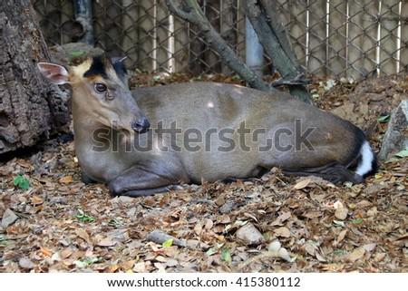 deer lying - stock photo