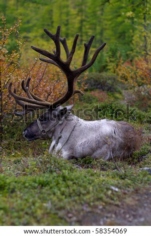 Deer lying on the meadow  on autumn background - stock photo