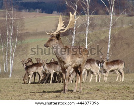 deer on a meadow