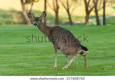 Deer pees on a grass field of a golf course - stock photo