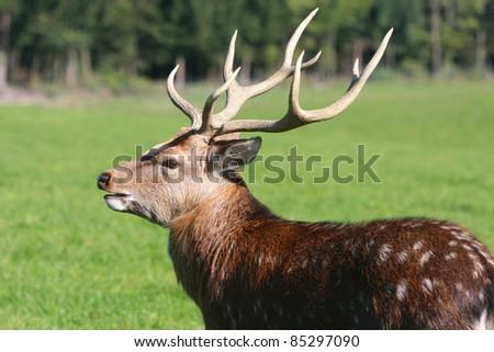 deer portrait on natural background. - stock photo