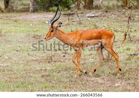 Deer runs in Kenya - stock photo