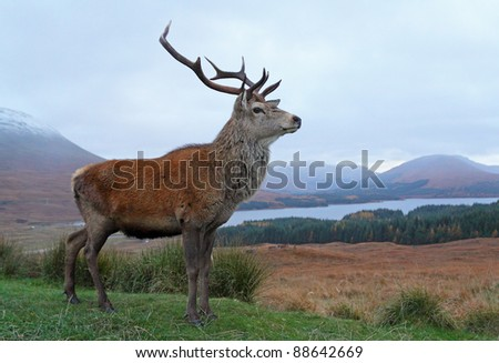 Deer Stag standing proud in the highlands of Scotland - stock photo