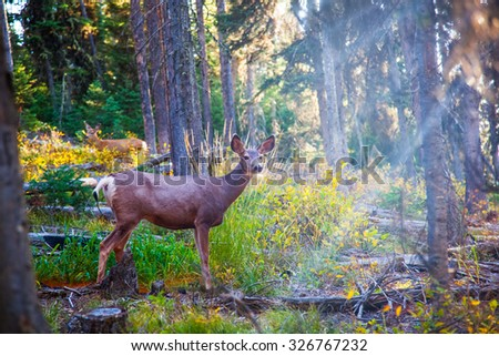 Deer standing in sunshine in forest. Yellowstone National Park, Wyoming. - stock photo