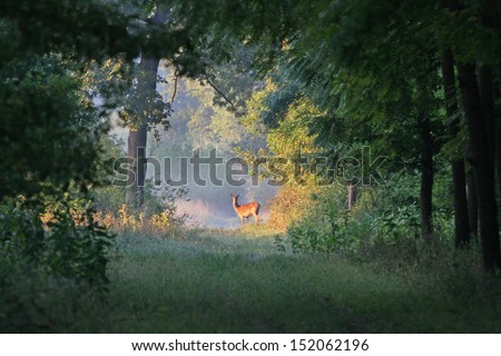 deer stands on sun rays in forest - stock photo