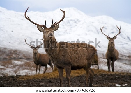 Deer Trio in Scottish Snowy Mountains - stock photo