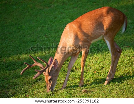 Deer with antlers in velvet eating some grass - stock photo