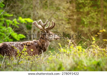 Deer with antlers on a green meadow - stock photo
