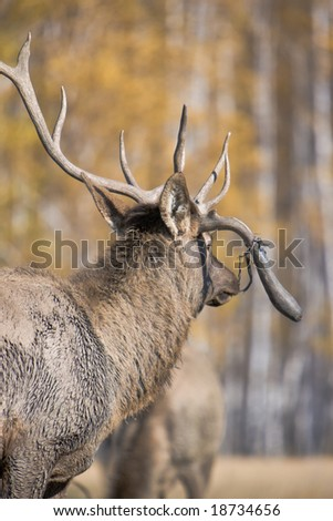 Deer with broken antlers