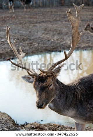 deer with greater horn in wild nature - stock photo
