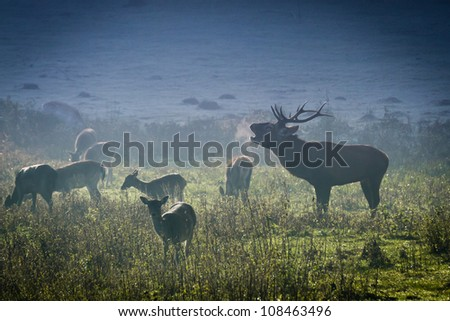 Deer with herd roaring on the meadow at sunrise - stock photo