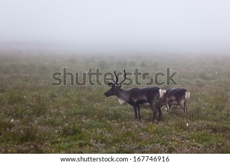 Deers Couple at Foggy Field in Iceland. Horizontal shot - stock photo