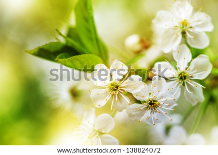 Defocus beautiful white spring flowers. Image with bright yellow color filters