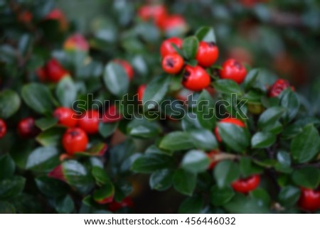 Defocused blurred background of leaves and red berries of a holly tree - stock photo