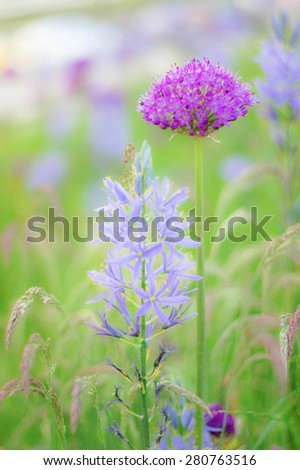 Defocused of Allium (the flowering onions, Fluffy lilac dandelion) Soft & Dreamy Effect, Low Clarity, Blur for Background. Allium Collection - stock photo