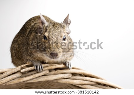 degu hamster closeup front view isolated on white - stock photo