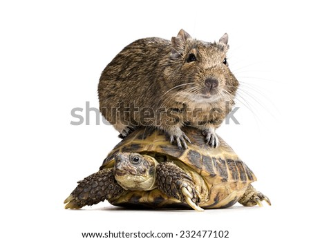 degu hamster riding on tortoise shell full-length front view isolated on white background - stock photo